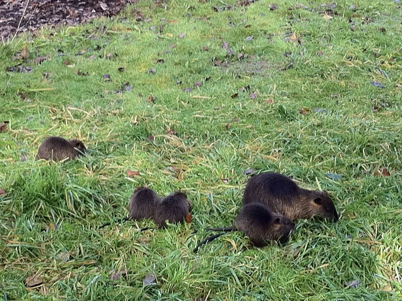 Mama Nutria and her brood, Nikeland