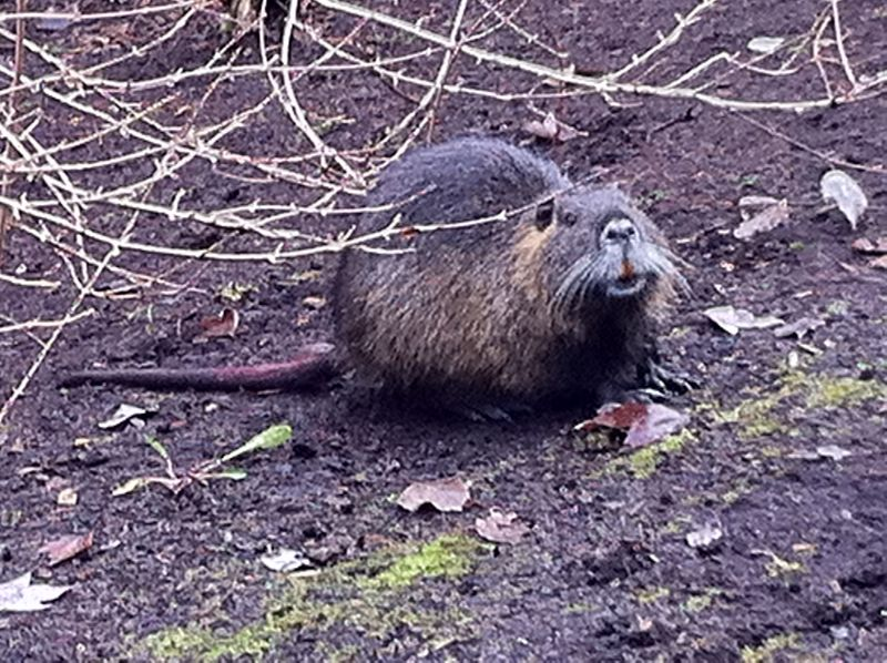 Nutria with ratlike tail