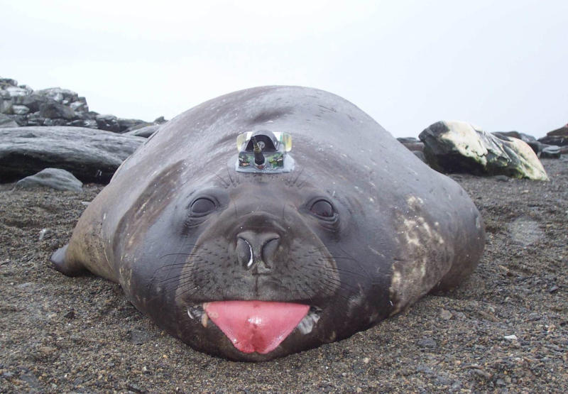 Elephant seal with funny hat