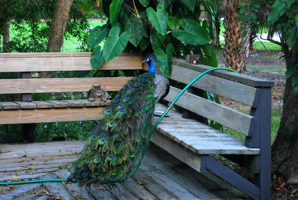 Peacock and cat, Delray Beach FL