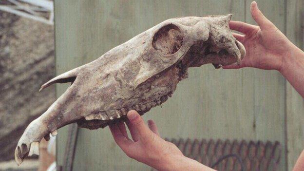 Ancient horse skull