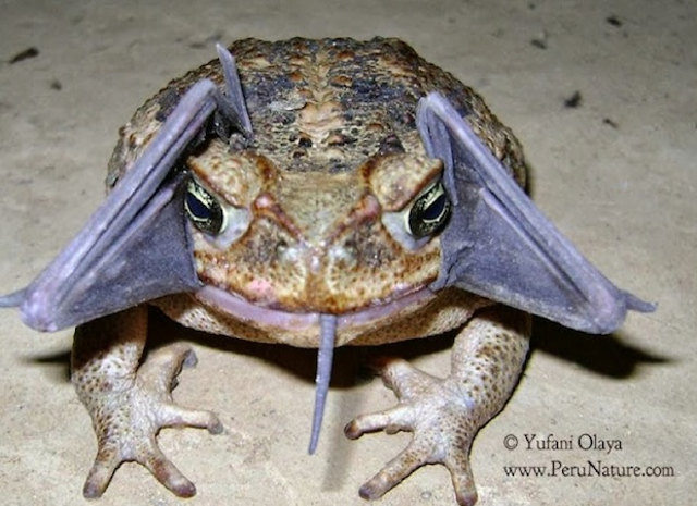 Toad-with-bat-in-mouth