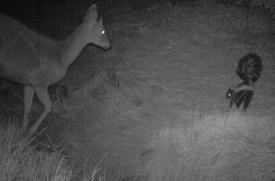 Deer and skunk