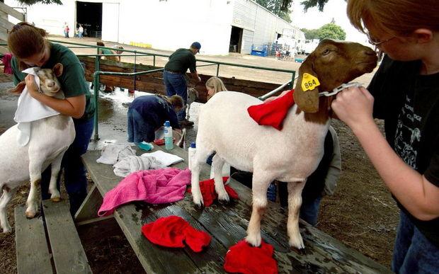 Clackamas County Fair 7
