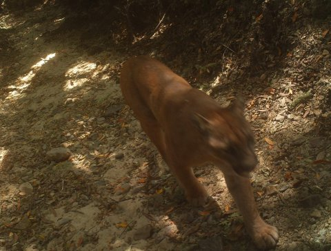 Mountain lion matriculating near Stanford