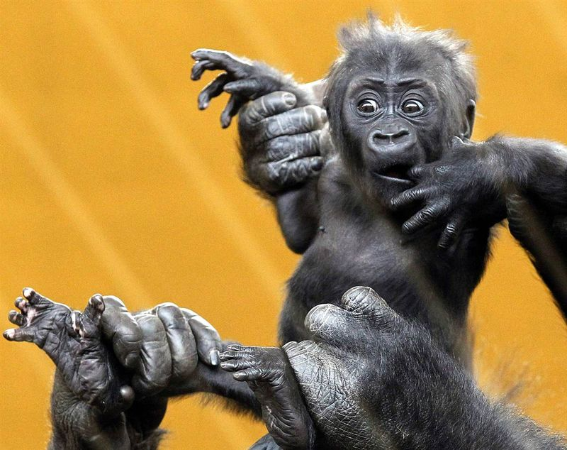 Baby gorilla in a zoo in Spain, held up by its mom