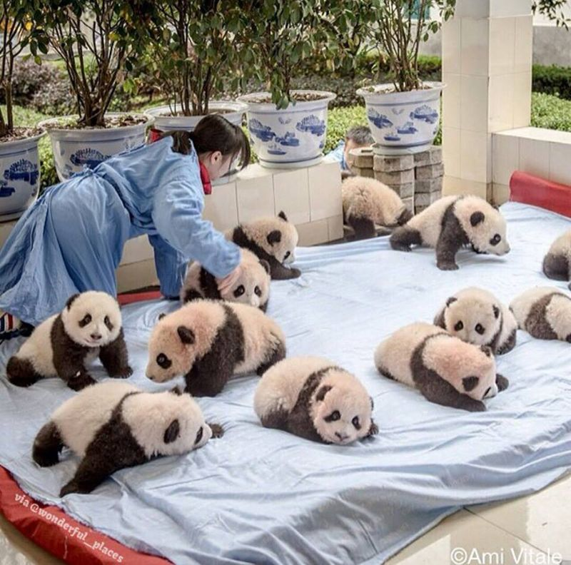 Baby panda nursery