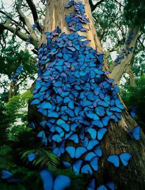 Blue butterflies, Amazon Rain Forest