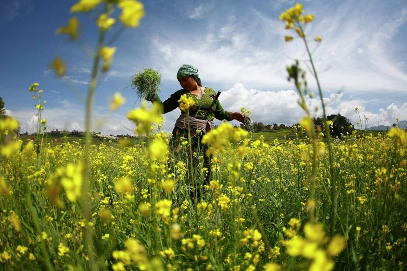 A woman works in the mustard fields of Khokana in Lalitpur, Nepal
