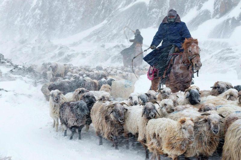 Kazakhs herd sheep Yili, Xinjiang Uighur Autonomous Region of China