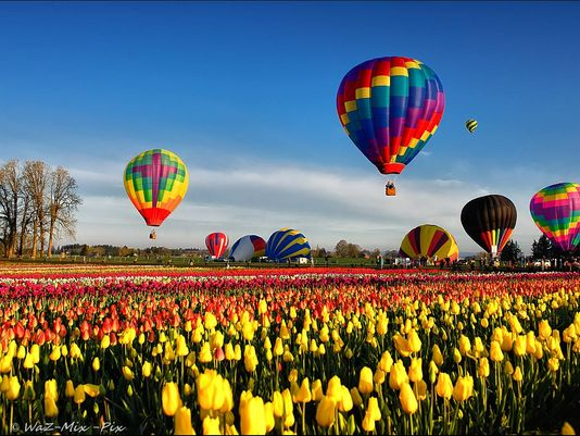 Hot air balloons at the Wooden Shoe Tulip Festival