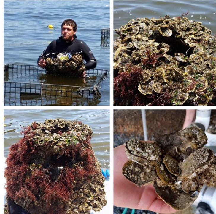 Oysters in Keyport's Raritan Bay