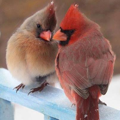 Couple of cardinals