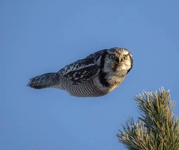 Owl, between flaps
