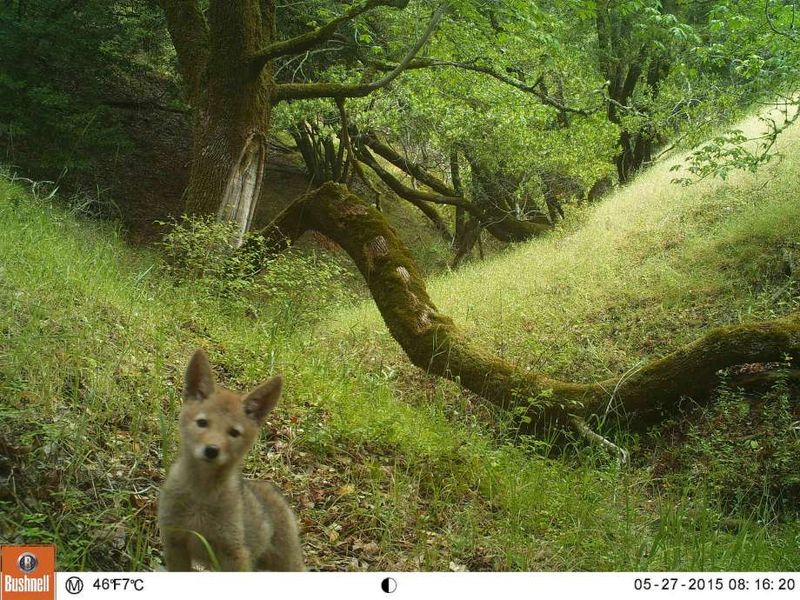 Coyote pup on Mount Tam