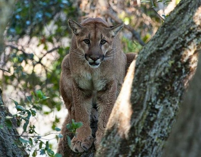 A mountain lion sits in a tree Saturday at McClellan Ranch Preserve in Cupertino