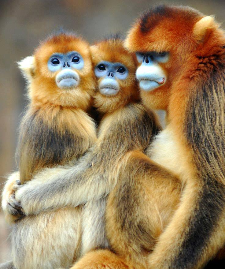 Three monkeys with interesting expressions