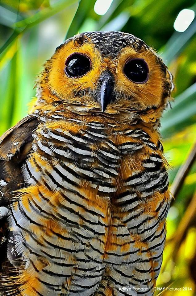 Spotted Wood Owl (Strix seloputo)  Java  Indonesia