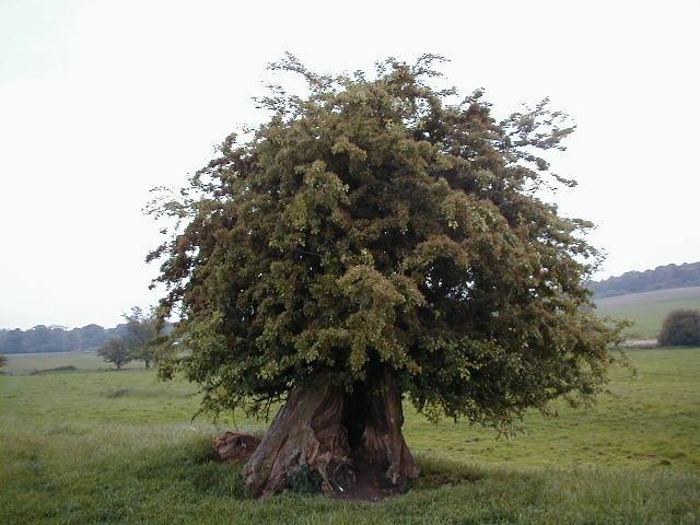 Ancient hawthorn tree