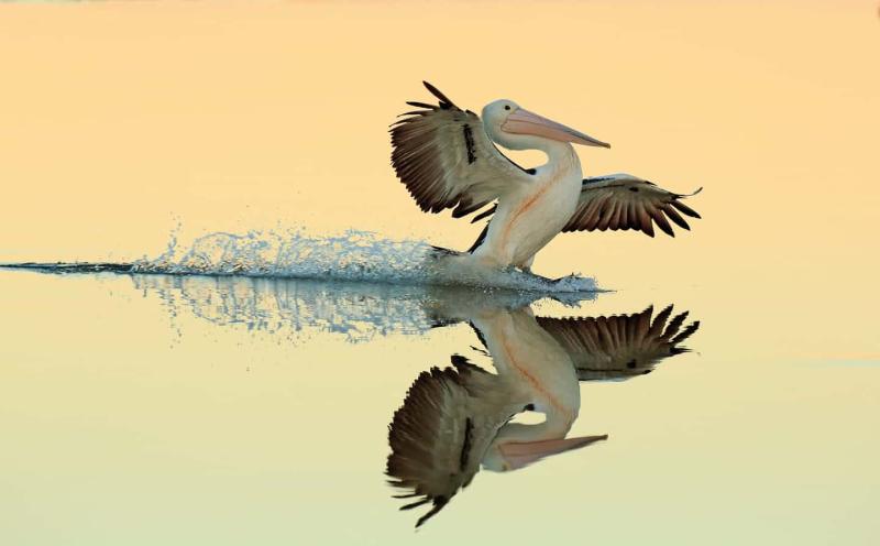 Perfect landing for pelican  Australia