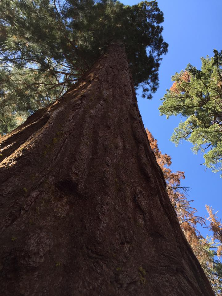 Giant Sequoia  Yosemite