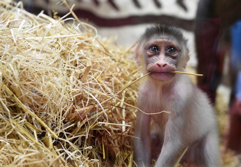 Baby mandrill