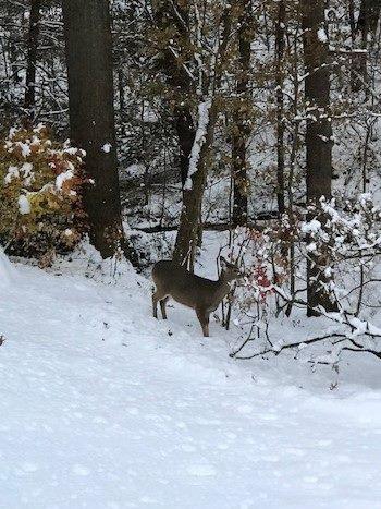 Deer out back