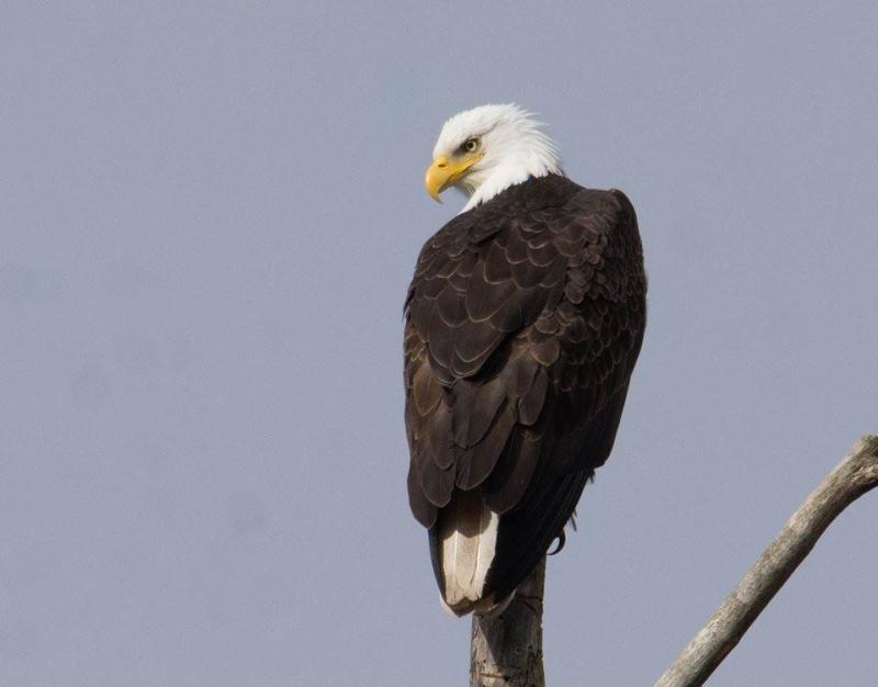 Eagle in Eugene  Oregon