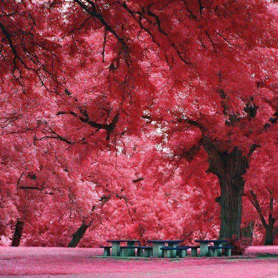 Japanese maples, Austin TX