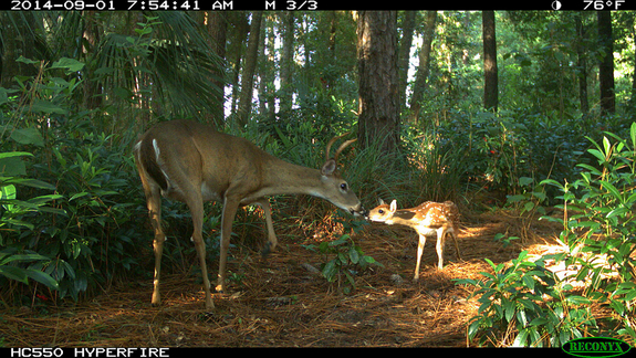 Yearly buck and fawn meet in Apopka, Florida