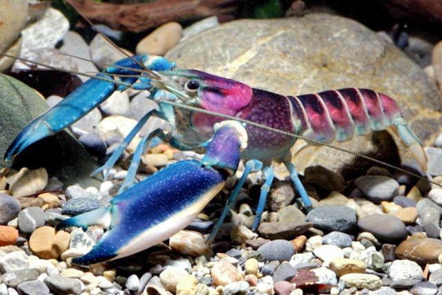 Cherax pulcher, crayfish