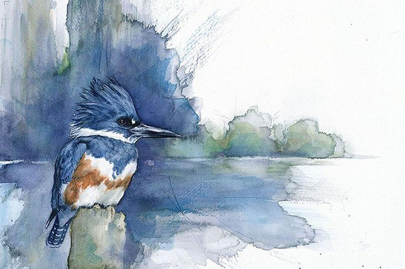 Belted Kingfisher, Anne Balogh