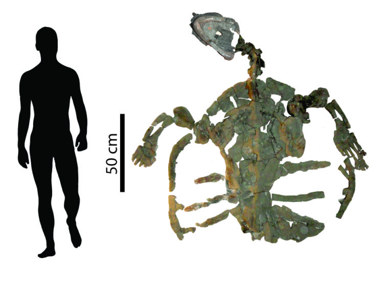 Man v. fossilized turtle