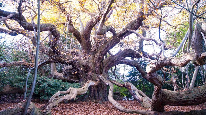 Bewdley sweet chestnut, Worcestershire