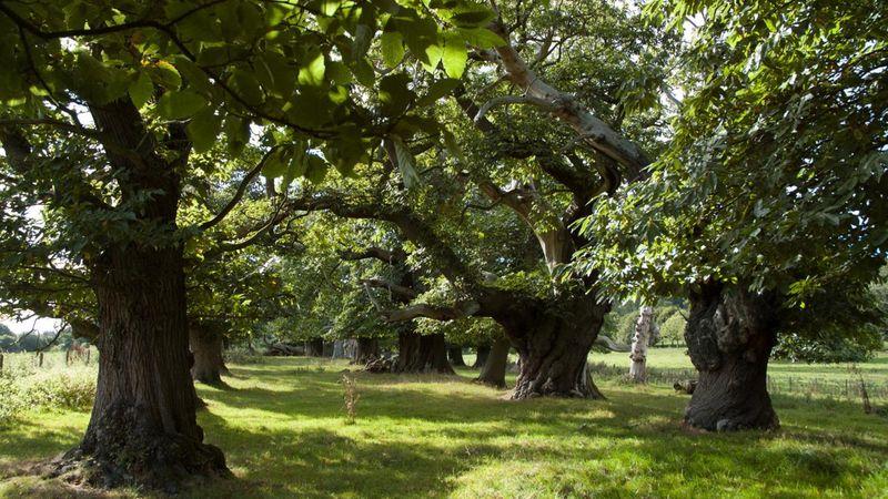 Croft Castle sweet chestnut avenue, Herefordshire