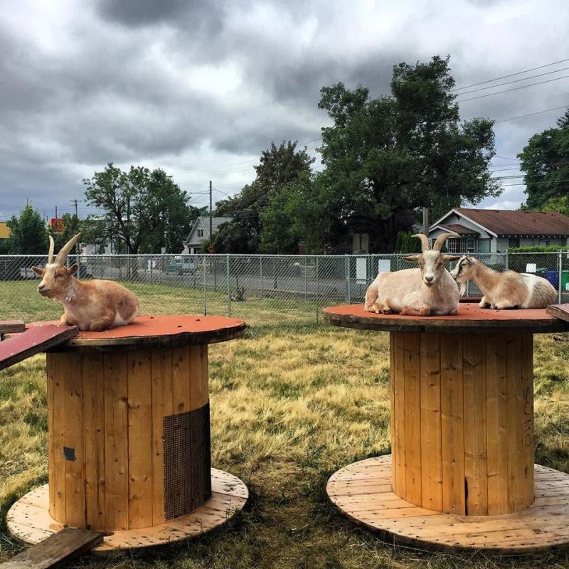 Belmont goats again