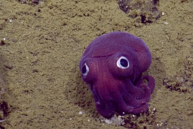 Googly-eyed-cuttlefish