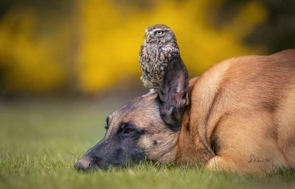 Owl and dog 7
