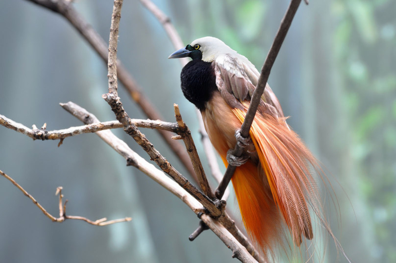 A greater bird-of-paradise perched on a branch in Papua New Guinea