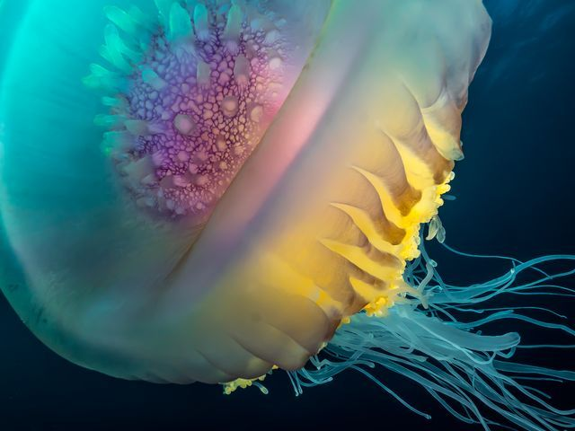 Floating crown, cephea jellyfish, South Africa