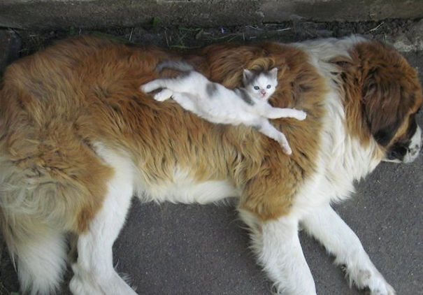 Cat on dog 3