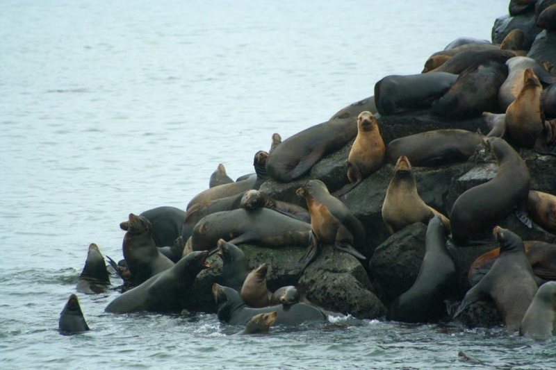 Sea lions  Newport  OR