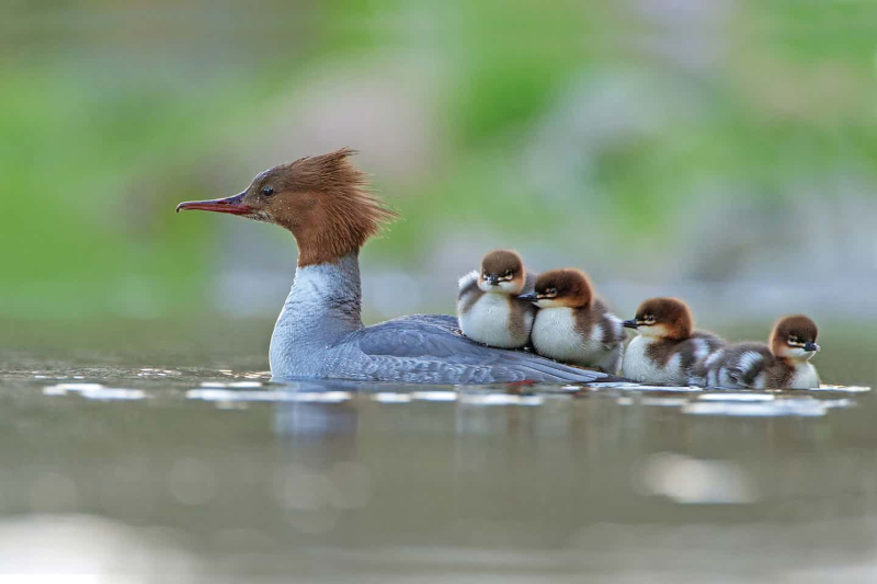 Goosander with her newly hatched brood