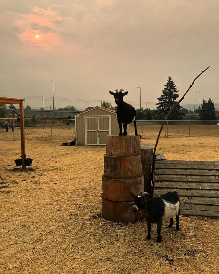 Belmont goats at sunset