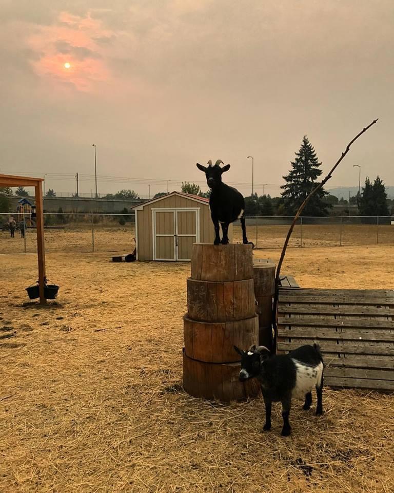 Belmont goats at sunset