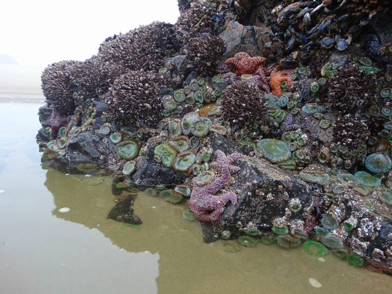 Tide pool  Oregon coast
