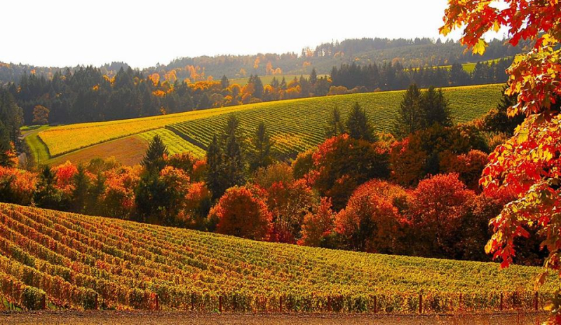 Fields of grapes in Oregon
