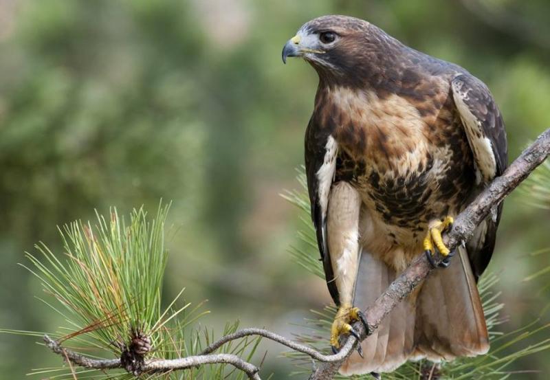 Hawk  I think