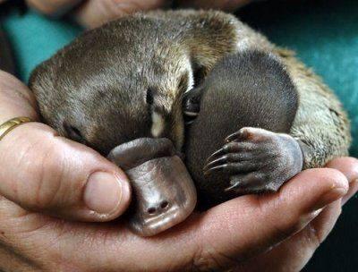 Sleeping baby platypus