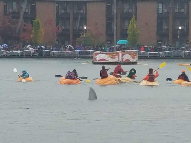 This year's giant pumpkin regatta
